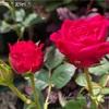 【庭】庭の片っ端から咲いてるミニバラの写真撮ってみた!その②