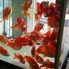 金魚の聖地!上大岡駅に行ったら野本養魚場に行こう!!全てがここで、揃うよ。ここは、金魚の水族館ですわ〜⭐