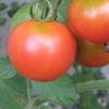 家庭菜園のミニトマト