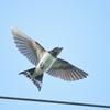 MFの飛翔する鳥 オオタカとセッカとツバメ