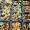 秋の種まき ネモフィラ オルレア ストック 発芽