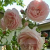 Rosaceae(バラ科)の季節