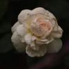 ボレロ、小さい秋バラ