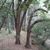 楠の林は何のため?(裾野市)