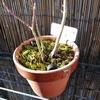 苔の蒴柄が伸びた一月