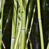 「竹」と「笹」はどうやって見分けるの?