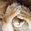 「海外反応」 「日本の動物園では、ライオン脱走訓練をライオンにも見学させる」