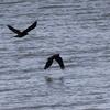 水上を飛ぶカラス