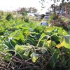 保存食⑱ 干しイモの作り方 (おまけ:さつまいもジャム・発酵きんとん)