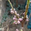 蟠桃がついに開花しました