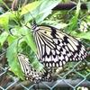 つぶやきは写真の下で  蝶がぁ 蝶がさぁ