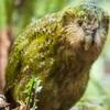 カカポ(フクロウオウム) 疫病に襲われる絶滅危惧種とニュージーランドの保護活動