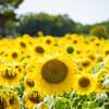 ひまわり@浜名湖ガーデンパーク