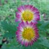 家の雛菊と公園の花の仲間たち