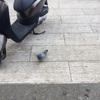 鳩とたわむれる