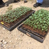 秋冬作野菜(ブロッコリー、レタス、タマネギ等)の育苗