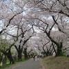駒場の春 ~学校周辺桜歩き