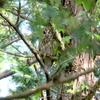 ヒナのいる巣を見守る親フクロウ