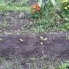日本長ナスをようやく定植する<茄子について>