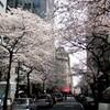 桜が満開。