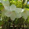 シロヤシオ咲く大台ヶ原