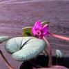 小さな原種シクラメンの花〜コウム『ピューターリーフ』〜
