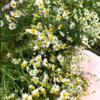 【学名の意味、調べてみた#4】ジャーマンカモミールMatricaria chamomilla@stand.fm(2021.4.29収録分)