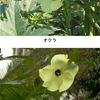 """オクラとトロロアオイ;どちらもアオイ科アオイ亜科トロロアオイ属.オクラはおなじみの野菜.トロロアオイは,別名花オクラで,オクラと違って果実は食用に適さないものの,花を食べることはできるとか.根からとった粘液""""ねり""""が,和紙づくりの際に繊維を水中で均一に分散させるために利用されてきました.後継者難ですが,和紙業界からの手助けもあって何とか栽培が続けられているとのこと. アオイ科の植物3"""