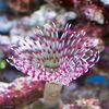 (海水魚)ケヤリ 紅白シモフリ(1匹)