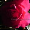 カンツバキ,Camellia hiemalis Nakai
