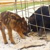沖縄の道の駅で、脱走したウリ坊と子豚の心温まる交流を見た!