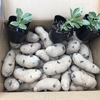 ジャガイモの播種とそら豆の定植!
