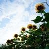 段々畑に120万本のひまわりが咲き誇る長崎鼻リゾートキャンプ場