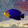 チェルブピグミーエンゼル 3-5cm±! 海水魚 ヤッコ 餌付け 15時までのご注文で当日発送【ヤッコ】