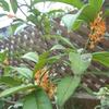 ☆金木犀が咲きました☆イベントシーズン到来です!