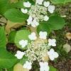 【滋賀】今が見頃 芦刈園の紫陽花
