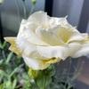 黄色いトルコギキョウ開花!
