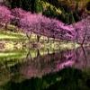 中綱湖の桜2018 咲き始め(4/19撮影)
