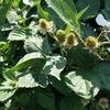 ブラックベリーの実が大きくなってきました。
