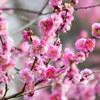 【東京都文京区】小石川植物園の梅が見頃です