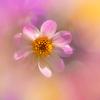 花期が長く銅葉のダリア・ドーバー