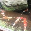 「立会川 吉田屋」で悠々と泳ぐ鯉を眺め、昼から蕎麦前
