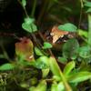ニホンアカガエル Rana japonica