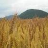 無農薬の小麦のお話