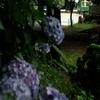 江ノ電 龍口明神社の紫陽花