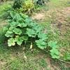 初心者の家庭菜園 一週間ぶりの畑と収穫