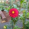 やっと咲いた赤のダリア