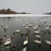 大沼公園の白鳥…