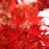 紅葉が綺麗なので散歩してきた。