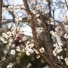 最近、暖かいので梅が咲いてます。
